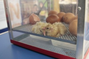 Egg hatch 5